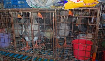 """""""Ducks in cages at wet market, Shenzhen, China"""" von Daniel Case - Eigenes Werk. Lizenziert unter Creative Commons Attribution-Share Alike 3.0 über Wikimedia Commons - http://commons.wikimedia.org/wiki/File:Ducks_in_cages_at_wet_market,_Shenzhen,_China.jpg#mediaviewer/File:Ducks_in_cages_at_wet_market,_Shenzhen,_China.jpg"""